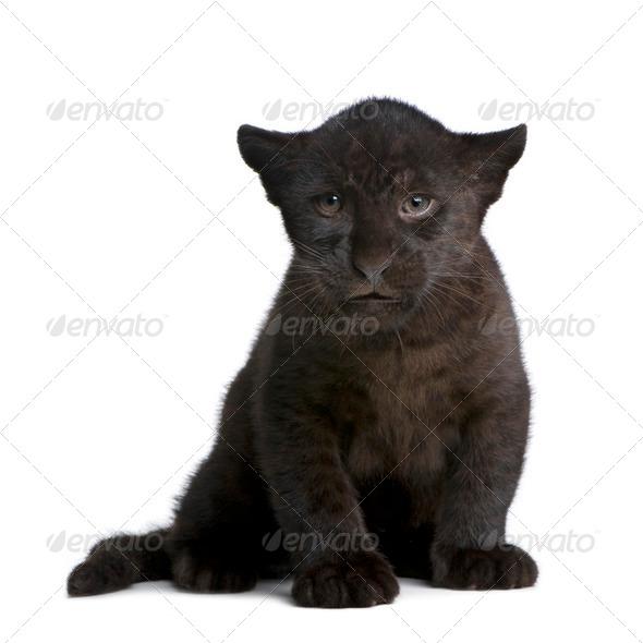 Jaguar cub (2 months) - Panthera onca - Stock Photo - Images