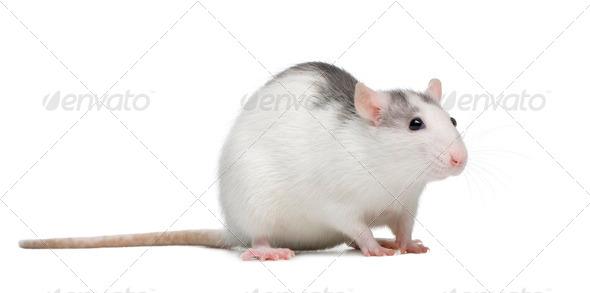 Rat - Stock Photo - Images