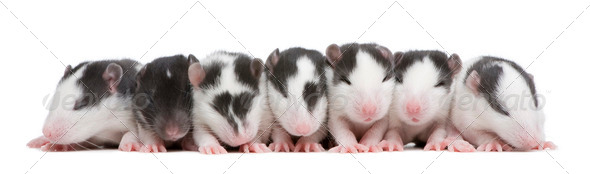 babby Rat in a row - Stock Photo - Images