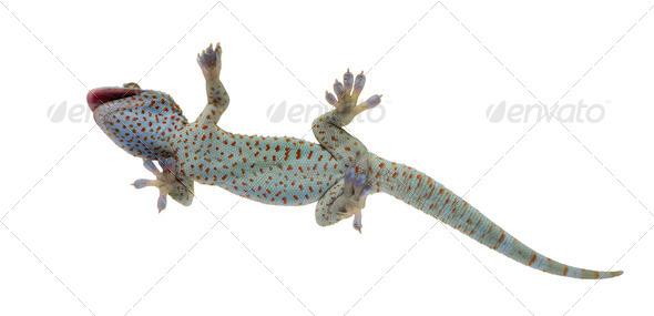 Tokay gecko - Gekko gecko - Stock Photo - Images
