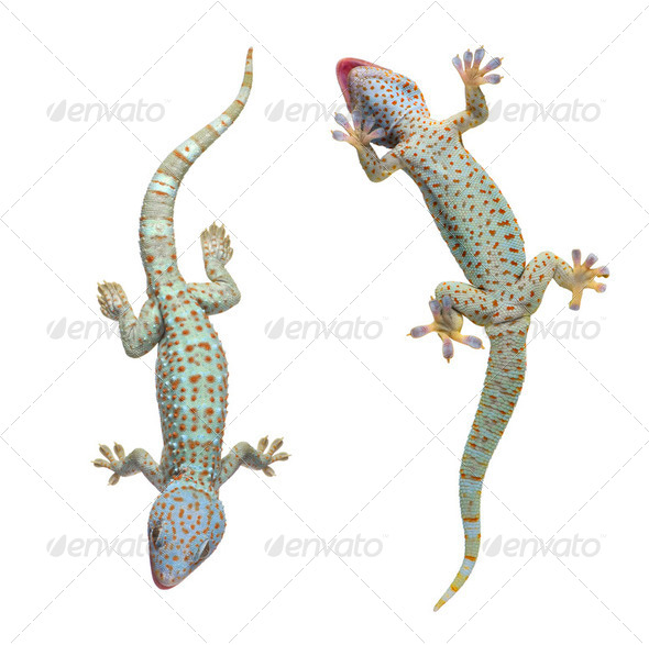 Tokay gecko - Gekko gecko - Stock Photo - Images
