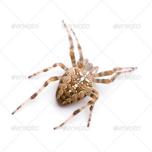 diadem spider - Araneus diadematus - Stock Photo - Images