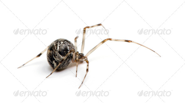 Common house spider - Achaearanea tepidariorum - Stock Photo - Images
