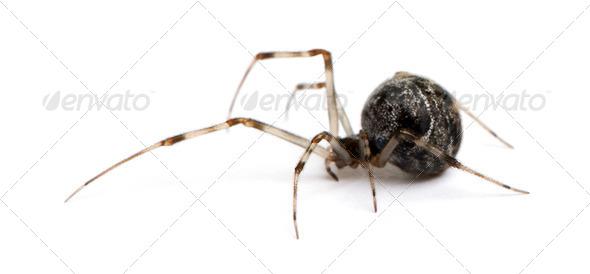 Common house spider - Achaearanea tepidariorum - Stock Photo - Images