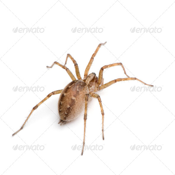 Barn funnel weaver spider- Tegenaria domestica - Stock Photo - Images