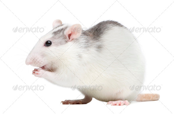 Rat - Stock Photo - Images
