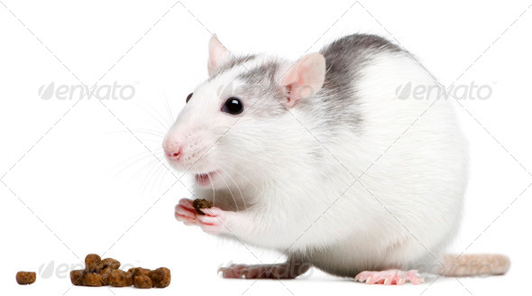 Rat eating in front of white background - Stock Photo - Images