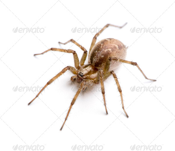 Barn funnel weaver spider- Tegenaria agrestis - Stock Photo - Images