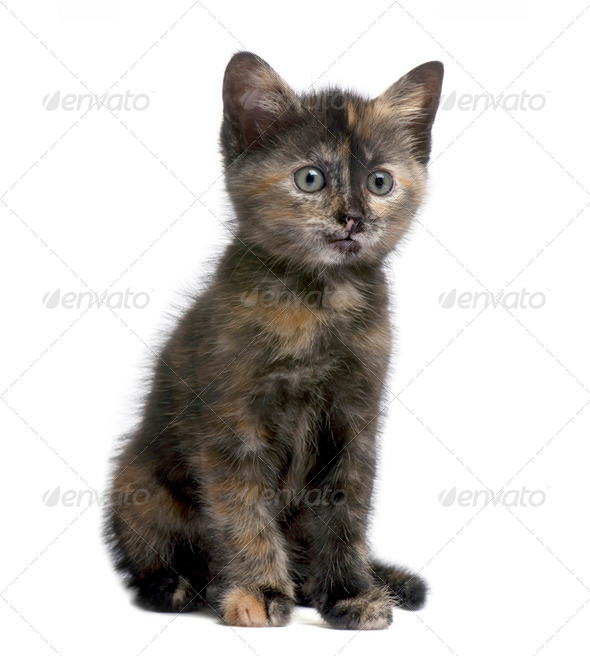 Tortoiseshell kitten (2 months) - Stock Photo - Images