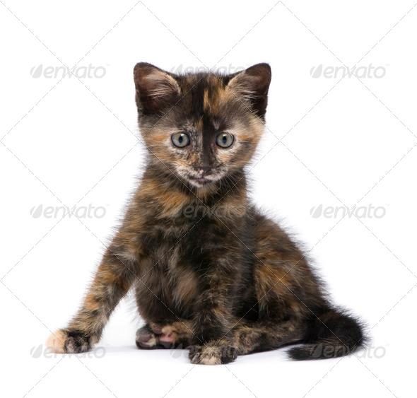 Tortoiseshell kitten (2 months) - Stock Photo - Images