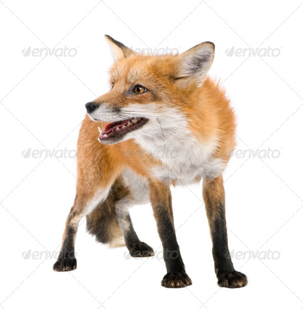 Red fox (4 years)- Vulpes vulpes - Stock Photo - Images