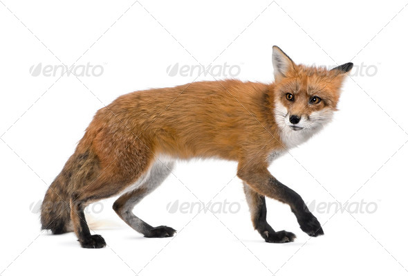 Red Fox, Vulpes vulpes, 4 years old walking against white background, studio shot - Stock Photo - Images
