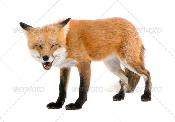 Red fox turned off by something (4 years)- Vulpes vulpes - Stock Photo - Images