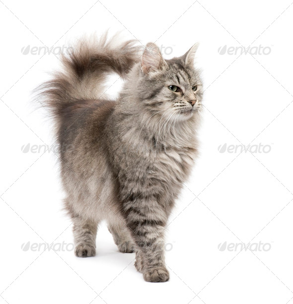 Crossbreed Siberian cat and persian cat - Stock Photo - Images