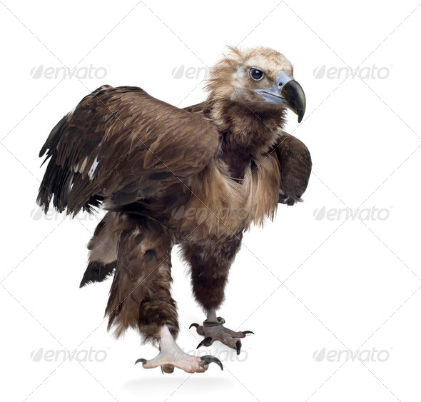 Eurasian Black Vulture (42 years) -  Aegypius monachus - Stock Photo - Images