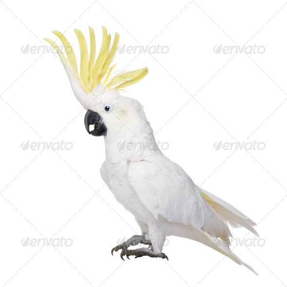 Sulphur-crested Cockatoo (22 years) - Cacatua galerita - Stock Photo - Images