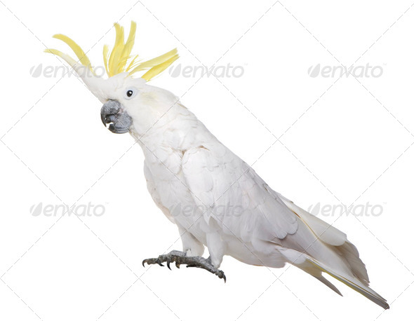 Sulphur-crested Cockatoo (22 years) - Cacatua galerita - Stock Photo - Images