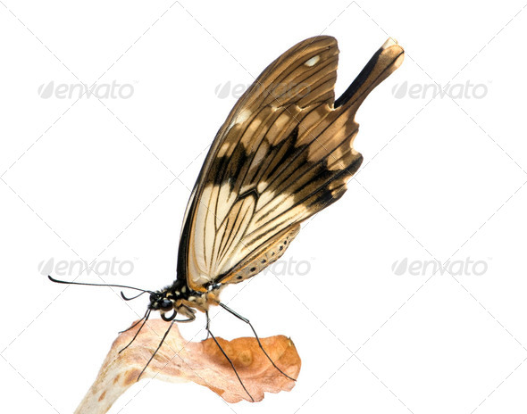 Papilio - Papilio dardanos - Stock Photo - Images