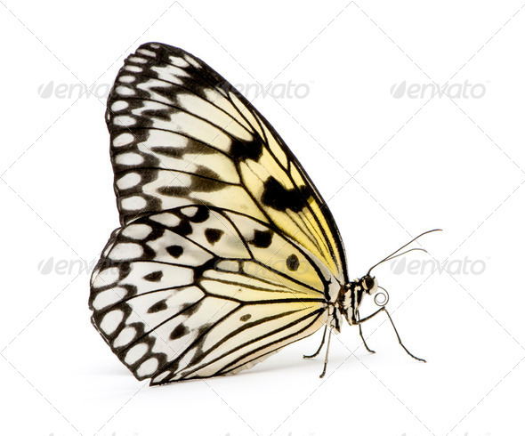 Idea leuconoe butterfly - Stock Photo - Images