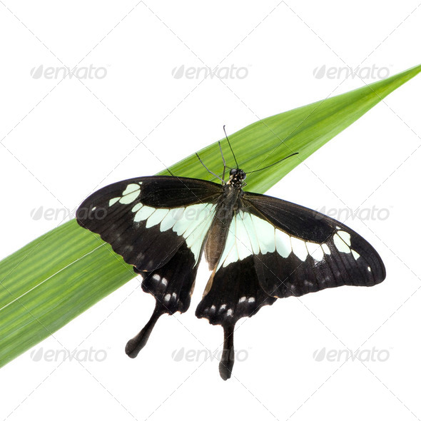 Papilo - Papilio phorcas - Stock Photo - Images