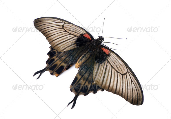 Papilio lowii butterfly - Stock Photo - Images