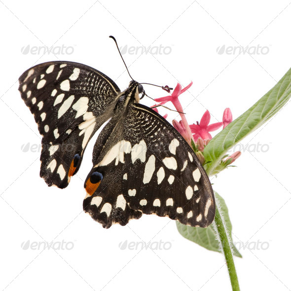 Papilio demoleus butterfly - Stock Photo - Images