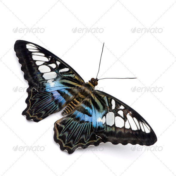 Parthenos sylvia butterfly - Stock Photo - Images