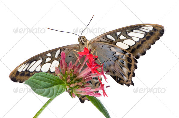 Morpho peleides butterfly - Stock Photo - Images