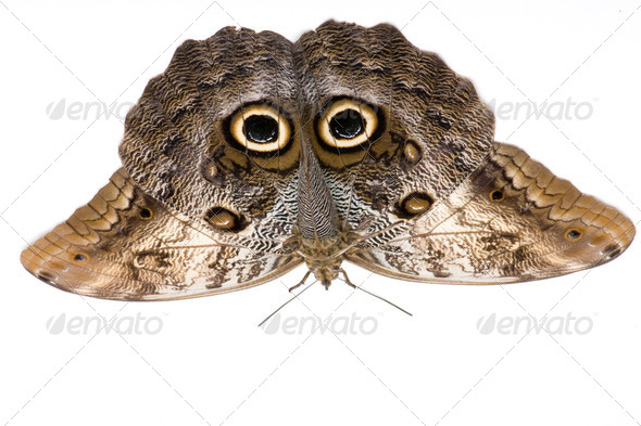 Owl butterfly, Caligo memnon - Stock Photo - Images