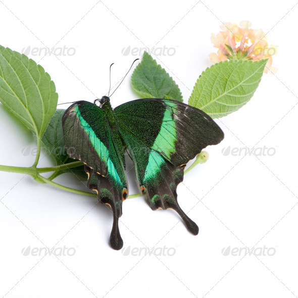 Papilio palinurus butterfly - Stock Photo - Images