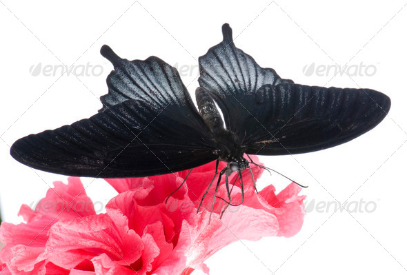 Papilio rumanzovia (male) butterfly - Stock Photo - Images