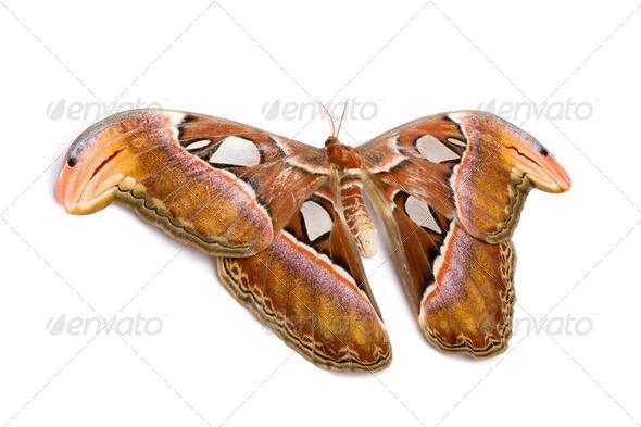 Attacus atlas moth - Stock Photo - Images