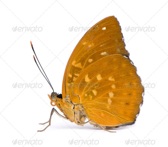 Lexias dirtea (female) butterfly - Stock Photo - Images