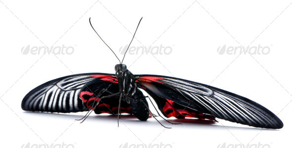 Papilio rumanzovia (female) butterfly - Stock Photo - Images