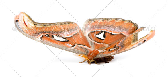Attacus atlas moth - Stock Photo - Images