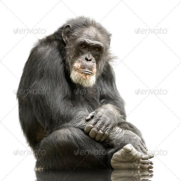 Chimpanzee - Simia troglodytes - Stock Photo - Images