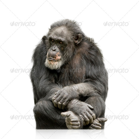 Chimpanzee - Simia troglodytes - Stock Photo - Images
