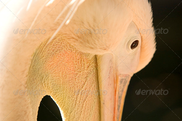pelican - Stock Photo - Images
