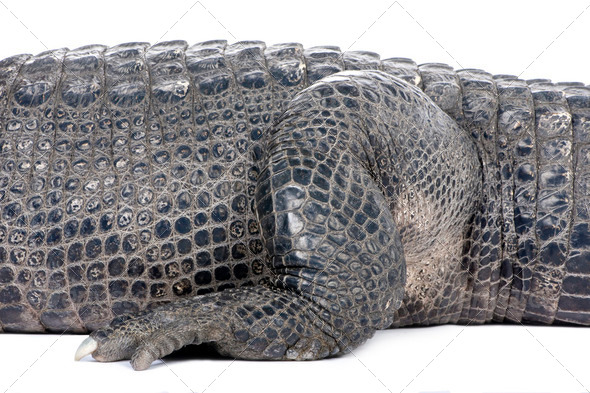 American Alligator (30 years) - Alligator mississippiensis - Stock Photo - Images