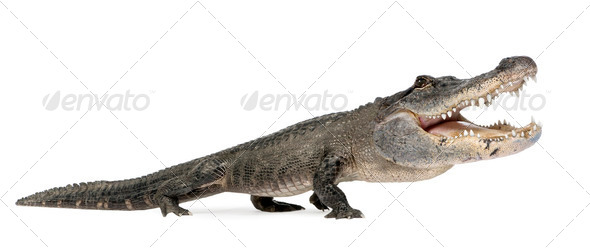 funny Alligator - Stock Photo - Images