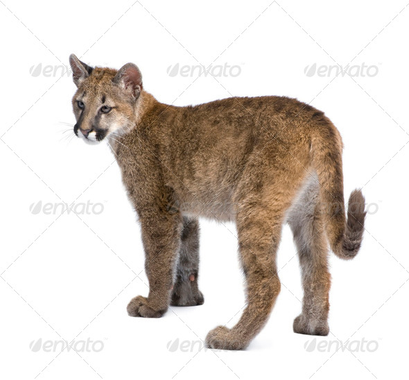 Puma cub - Puma concolor (3,5 months) - Stock Photo - Images