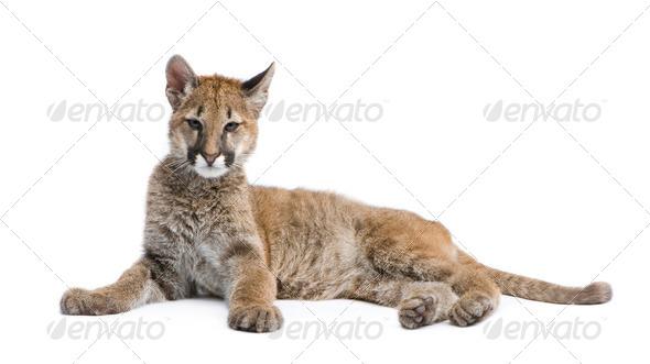 Puma cub - Puma concolor (3,5 months) - Stock Photo - Images