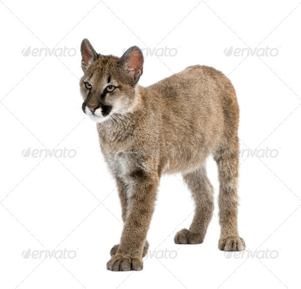 Puma cub, Puma concolor, 3 to 5 months old, in front of a white background - Stock Photo - Images