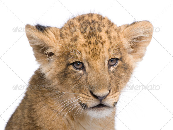 Lion Cub (7 weeks) in front of a white background - Stock Photo - Images