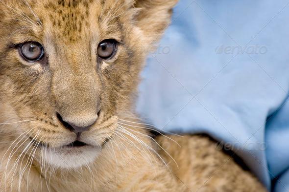 Lion Cub (7 weeks) - Stock Photo - Images