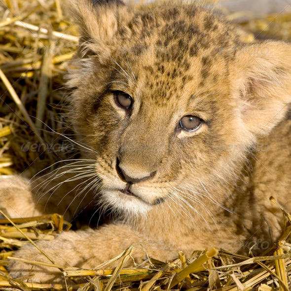 Lion Cub (7 weeks) - Stock Photo - Images