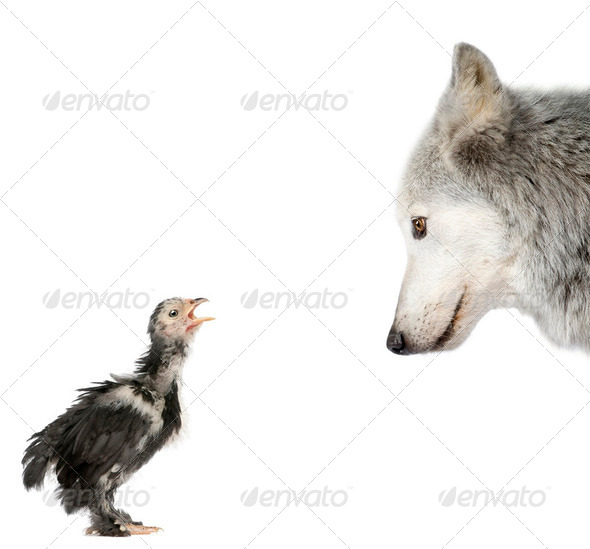 Mackenzie Valley Wolf looking at a chick in front of white background, studio shot - Stock Photo - Images