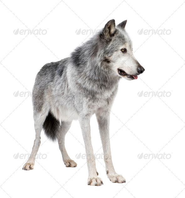 Mackenzie Valley Wolf (8 years) - Canis lupus occidentalis - Stock Photo - Images