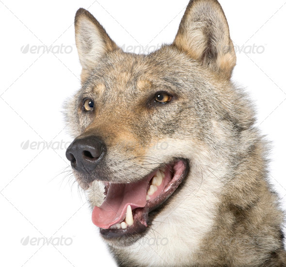 close-up on a old European wolf - Canis lupus lupus - Stock Photo - Images