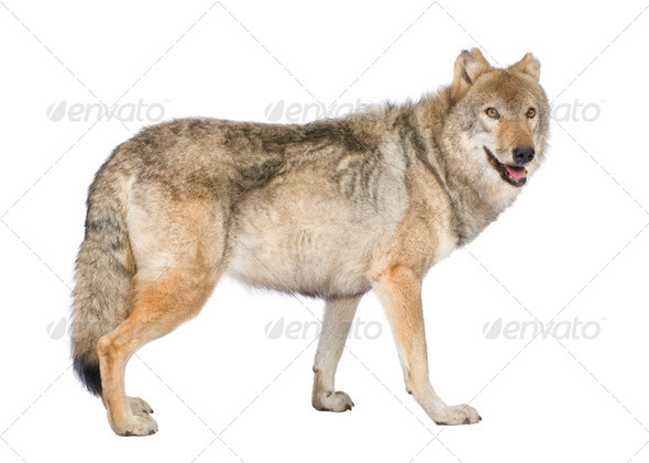 old European wolf - Canis lupus lupus - Stock Photo - Images